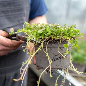 Bijknippen planten evergreen rockyplants