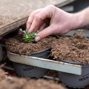 Stekken van planten evergreen rockyplants